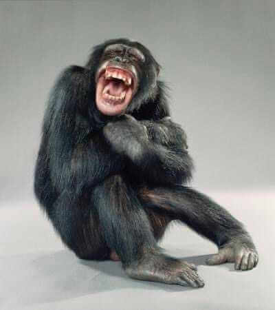 picture of a chimpanzee